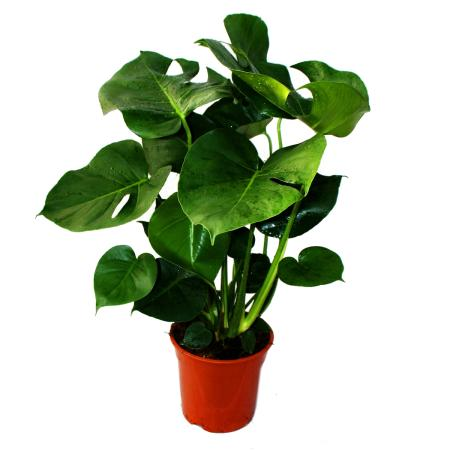 Monstera deliciosa - window leaf - 21cm pot - ca. 50-60cm high