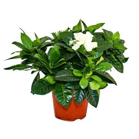 Gardenia - Fragrant flowering plant with cream-white coloured flowers, 12cm pot