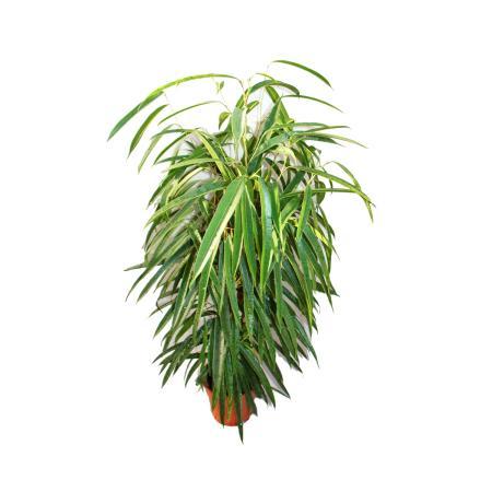 """Ficus binendijkii """"Alii"""" - long-leaved birch fig - royal column - 17cm pot"""