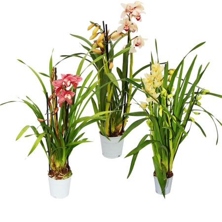 Cymbidium Orchidee - Kahnorchidee - The orchid for cool rooms