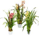Cymbidium Orchidee - Kahnorchidee - The orchid for cool...