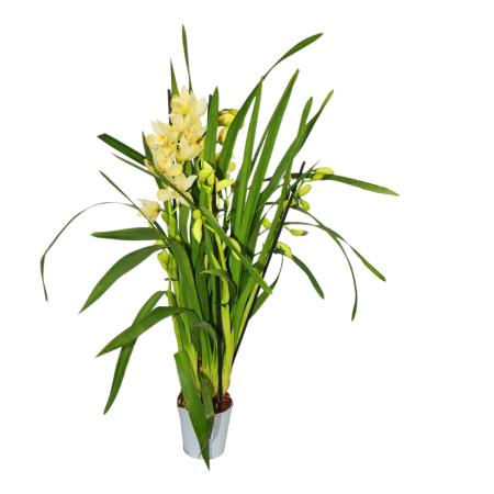 Cymbidium Orchidee - Kahnorchidee - The orchid for cool rooms yellow