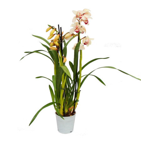 Cymbidium Orchidee - Kahnorchidee - The orchid for cool rooms cream
