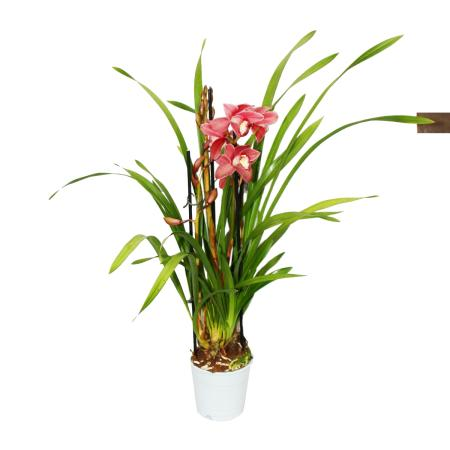 Cymbidium Orchidee - Kahnorchidee - The orchid for cool rooms red