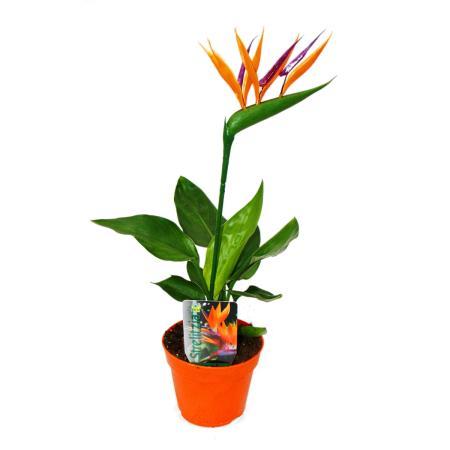 Strelitzie - Bird of paradise flower - 12cm pot - with ARTICLE flower