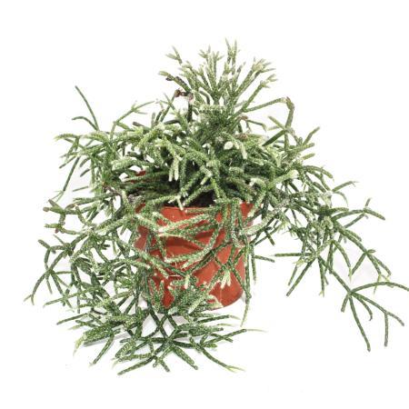 Rhipsalis pilocarpa - coral cactus - in a 12cm pot