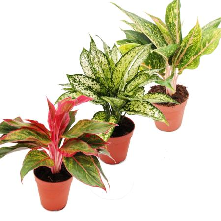 Piston thread with coloured leaves - Set of 3 different threads Deluxe plants - Aglaonema 12cm