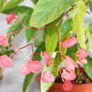 Tamaya Begonia - Begonia albopicta - Begonia trunk - 9cm pot