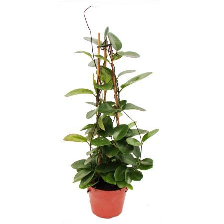 Hoya australis - Porcelain flower - Wax flower - 17cm Pyramid