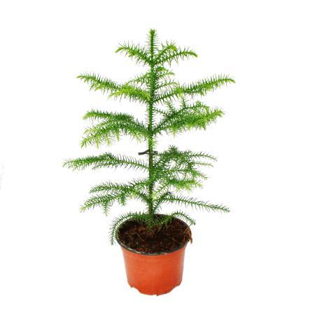 Araucaria heterophylla 12cm, indoor fir