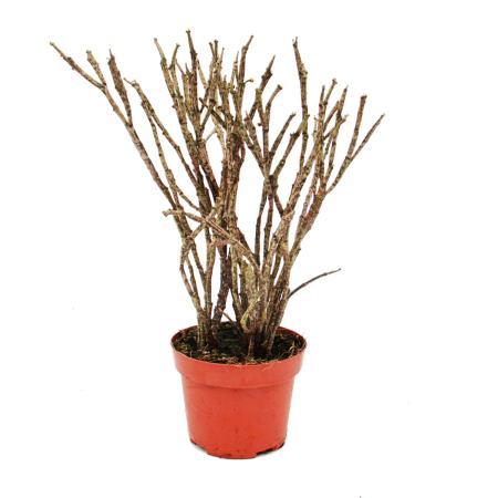 Euphorbia platyclada 12cm Topf, Höhe ca. 25cm, seltene Euphorbie mit gefleckten Trieben