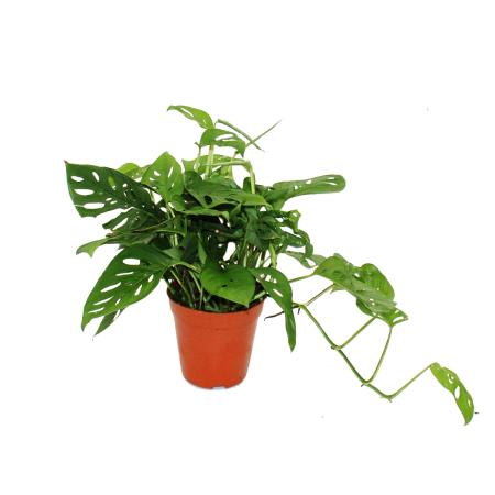 "Monstera adansonii ""Monkey Leaf"", Fensterblatt, 15cm Topf"