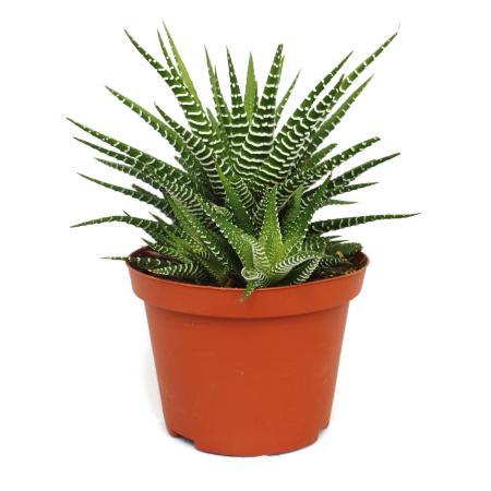 "Haworthia fasciata ""Big Band"" - plant in 10.5cm pot"