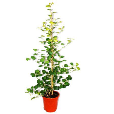 Mispelfeige - Ficus deltoidea - 17cm Topf - ca. 80cm hoch