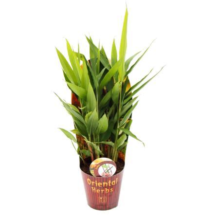 Thai-Ingwer, Alpina galanga 12cm