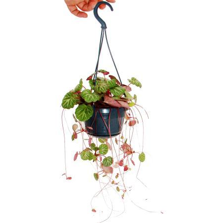 Hanging saxifrage, Jewish beard, Saxifraga stolonifera 14cm hanging lamp