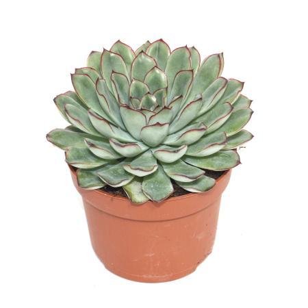 Echeveria pulidonis - large plant in a 12cm pot
