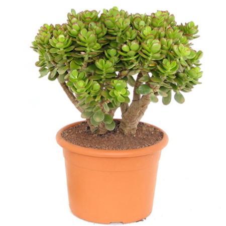 Crassula portulacea minor - Pfennigbaum - Solitär Pflanze - 20cm