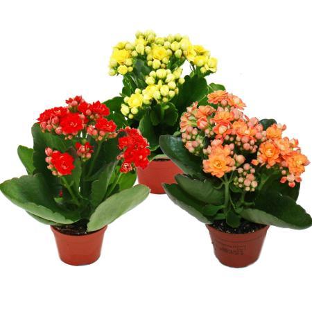 "Mini-Kalanchoe ""Rosalina"" - Set with 3 different plants - Flammendes Käthchen - 5.5cm pot"