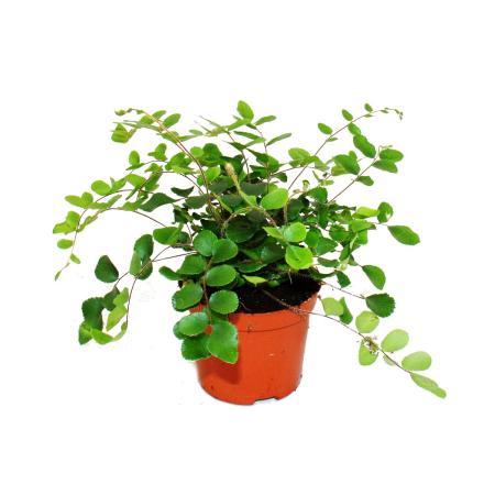 Pellaea rotundifolia - Pelle- oder Urweltfarn - 9cm Topf