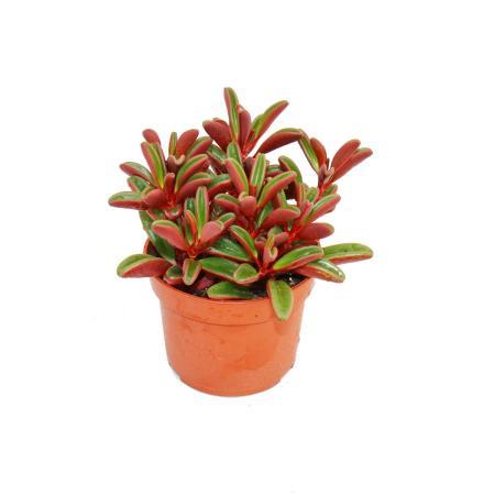 Peperomia graveolens in a 10.5cm pot