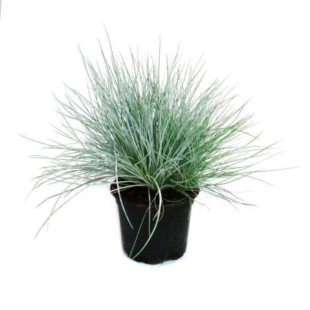 Blauschwingel-Gras - Festuca glauca - 9cm Topf