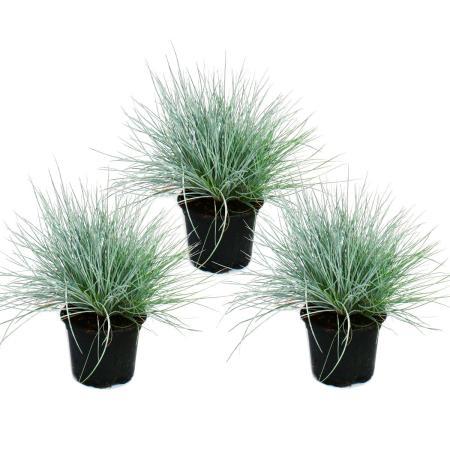 Blue fescue grass - Festuca glauca - set with 3 plants - 9cm pot