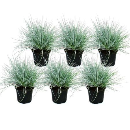 Blue fescue grass - Festuca glauca - set with 6 plants - 9cm pot