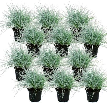 Blauschwingel-Gras - Festuca glauca - Set mit 12 Pflanzen - 9cm Topf