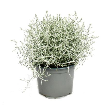 Stacheldrahtpflanze - Silberdraht - Calocephalus brownii - 12cm Topf