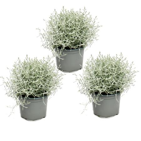 Barbed wire plant - silver wire - Calocephalus brownii - set with 3 plants - 12cm pot