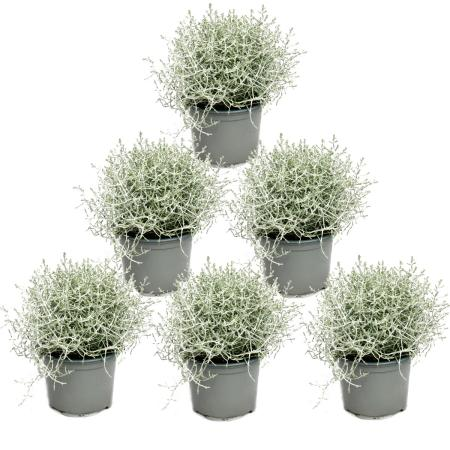 Barbed wire plant - silver wire - Calocephalus brownii - set with 6 plants - 12cm pot
