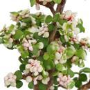 "Bonsai rarity ""Portulacaria afra variegata"" -..."