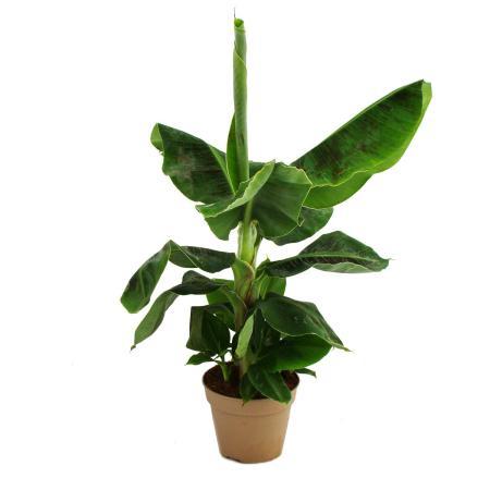 Banana plant - indoor banana - Musa - 15cm pot about 50cm high