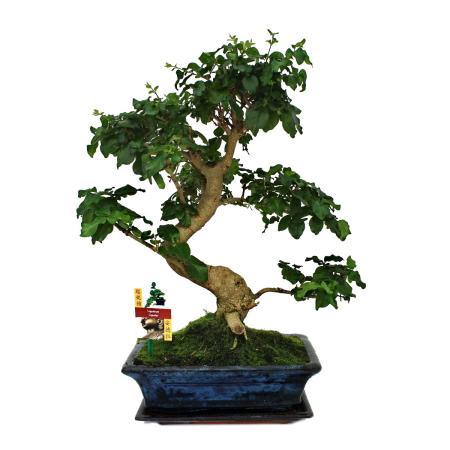 Chinese privet - Ligustrum sinensis - 12-15 years