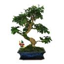 Chinese privet - Ligustrum sinensis - 12-15 years