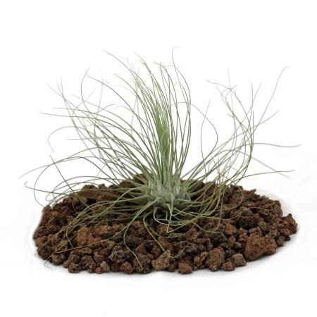 Tillandsia argentea - lose Pflanze