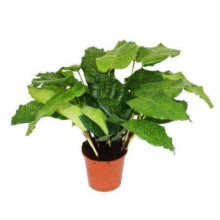 "Schattenpflanze mit ausgefallenem Blattmuster - Calathea musaica ""Network"" - 14cm Topf - ca. 40cm hoch"
