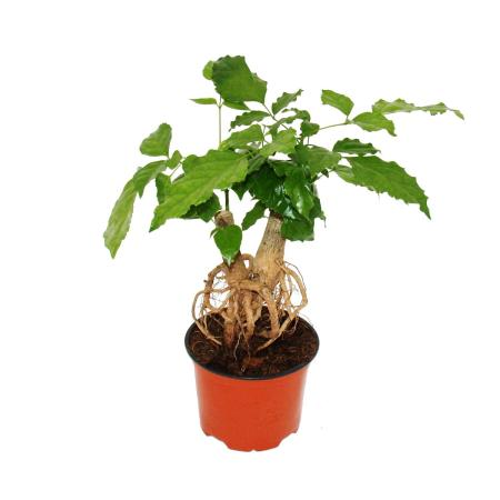 Carpenter ash - Radermachera sinica - with visible roots - 12cm pot