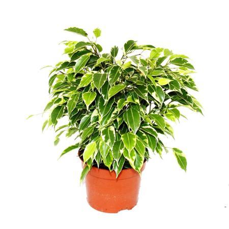 "Bushy weeping fig - Ficus benjamini ""Kinky"" - white foliage - 12cm pot"