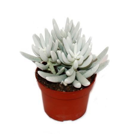 Senecio haworthii - weiß behaarte sukkulente Pflanze - 10,5cm Topf