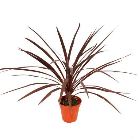 "Rote Keulenlilie - Cordyline australis ""Red Star"" - 12cm Topf - ca. 50cm hoch"