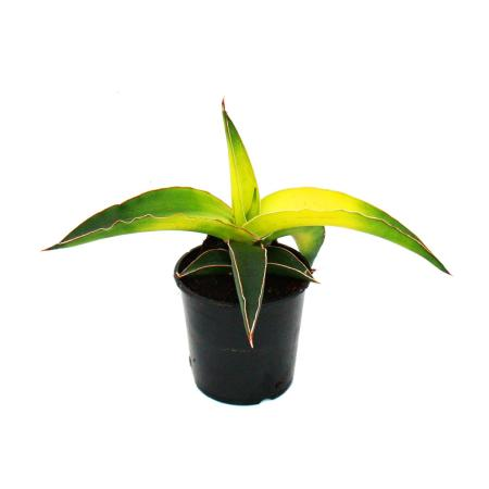 "Sansevieria ""Star Canary"" - bright yellow, small bow hemp - 10cm pot - succulent"