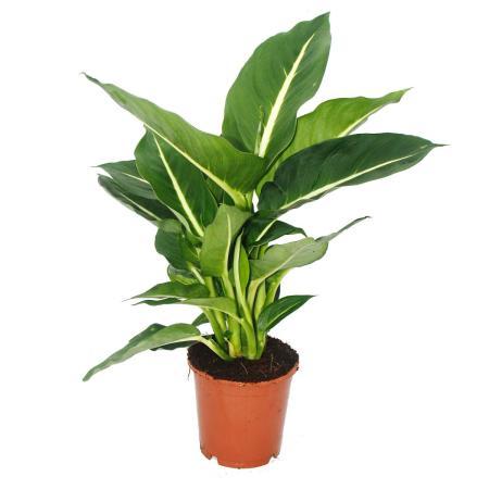 "Exotenherz - Dieffenbachia ""Magic Green"" - 1 plant - easy care houseplant - air purifying - 12cm pot"