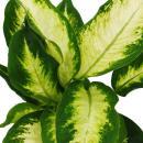 """Exotenherz - Dieffenbachie """"Camilla"""" - 1 Pflanze - pflegeleichte Zimmerpflanze - luftreinigend- 12cm Topf"""