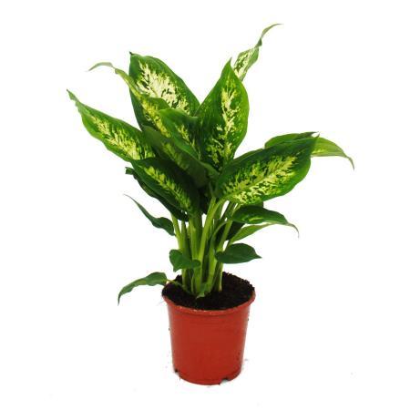 """Exotenherz - Dieffenbachie """"Compacta"""" - 1 Pflanze - pflegeleichte Zimmerpflanze - luftreinigend- 12cm Topf"""