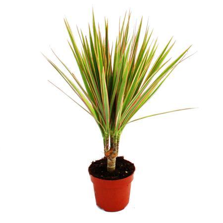 """Exotenherz - Drachenbaum - Dracaena marginata """"Bicolor"""" zweifarbig -  1 Pflanze - pflegeleichte Zimmerpflanze - luftreinigend- 12cm Topf"""