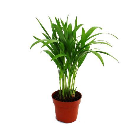 Exotenherz - Goldfruchtpalme - Areca - Dypsis lutescens -  1 Pflanze - pflegeleicht - luftreinigend - 12cm Topf