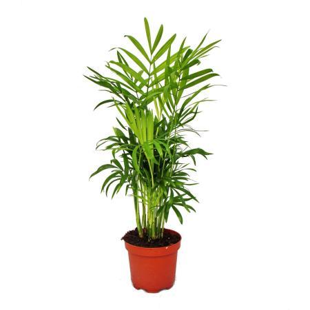 Exotenherz - Bergpalme - Chamaedorea elegans -  1 Pflanze - pflegeleicht - luftreinigend- 12cm Topf