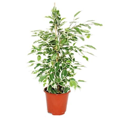 """Exotenherz - Birkenfeige - Ficus """"Twilight"""" - weiss-bunte Blätter -  1 Pflanze - pflegeleicht - luftreinigend- 12cm Topf"""